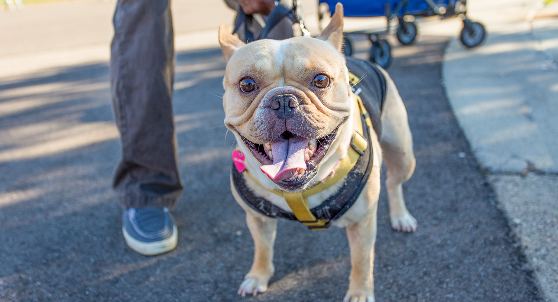 French bulldog enjoying the Walk for Animals