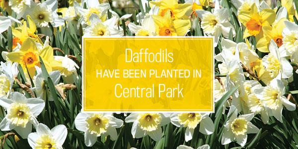Plant Daffodils