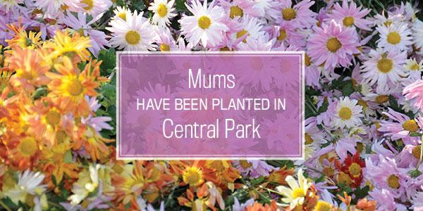 Plant Mums