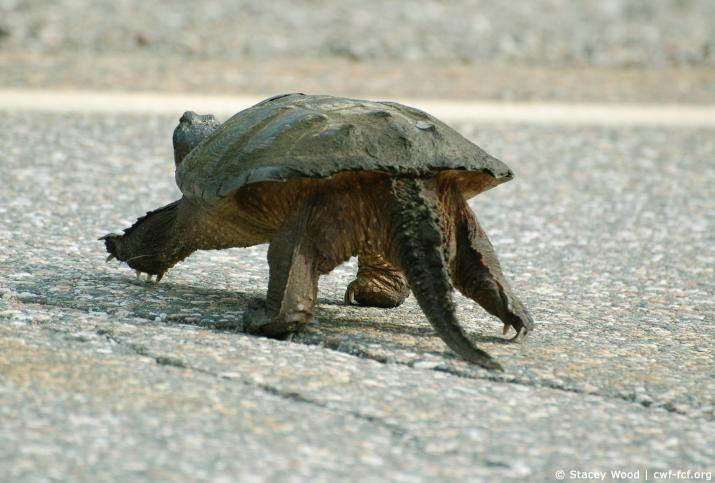 Snapping turtle walking up the road