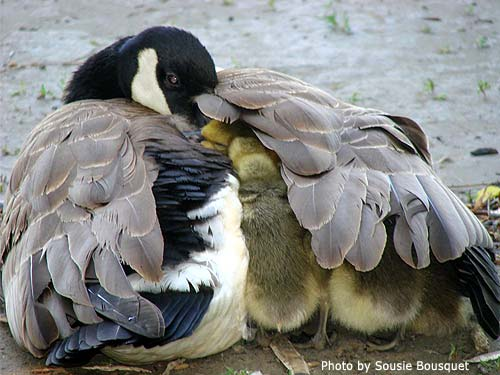 Canada Goose covering her goslings with her wing