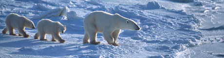 Polar Bears - Wildlife Research