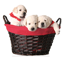 puppies in christmas basket