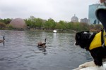 Border Collie in Boat chasing Geese