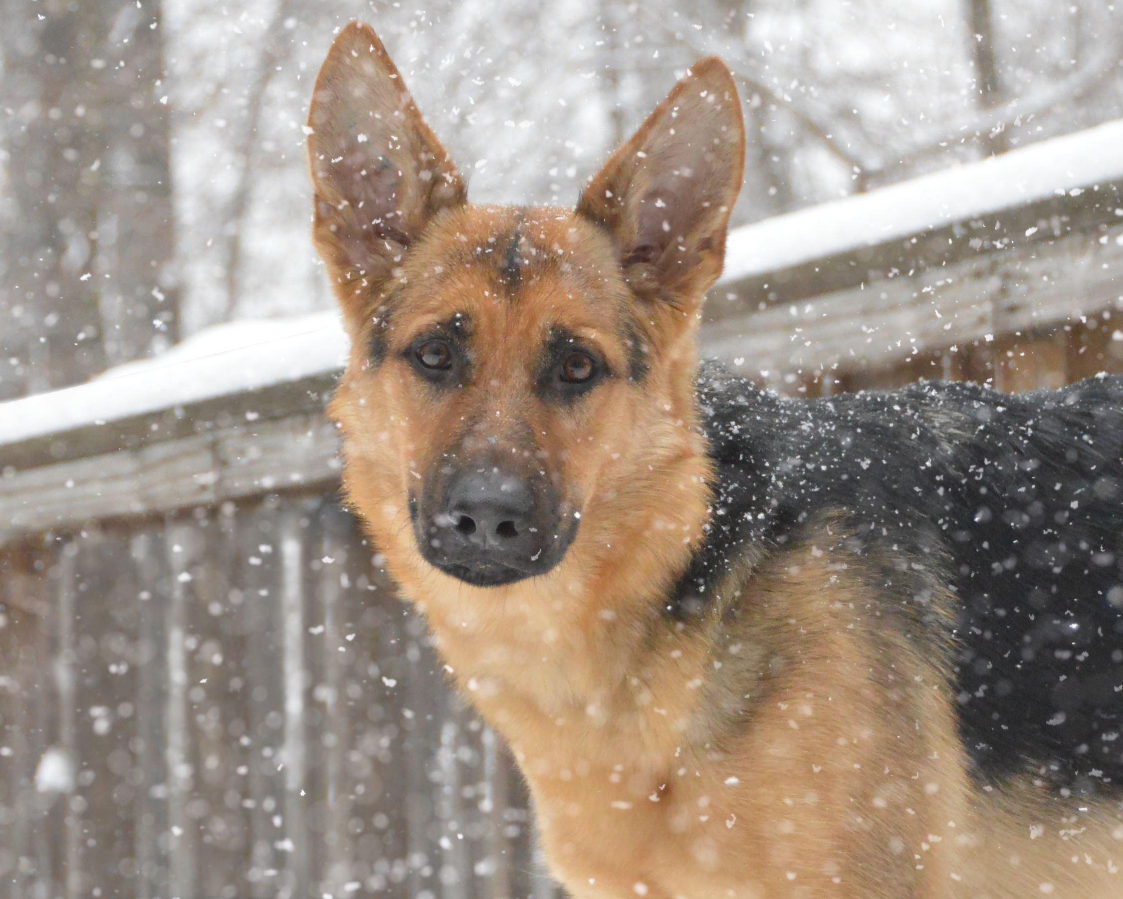 A German shepherd Seeing Eye puppy stands in the snow.