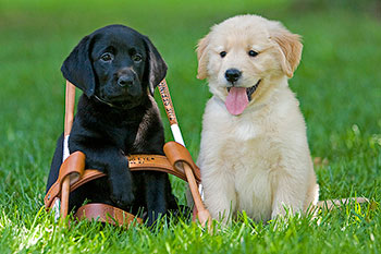 Black lab and Golden Retreiver puppy