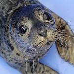 ID Tag for a Rescued Seal