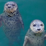 Click here for more information about Feed a Pool of Seals