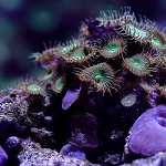 Night Light for Corals