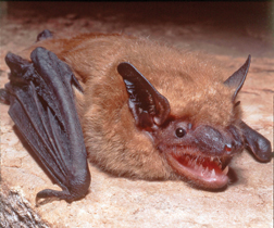white nose syndrome in bats essay Efficacy of a probiotic bacterium to treat bats affected by the disease white-nose syndrome search for more papers by this author white-nose syndrome.