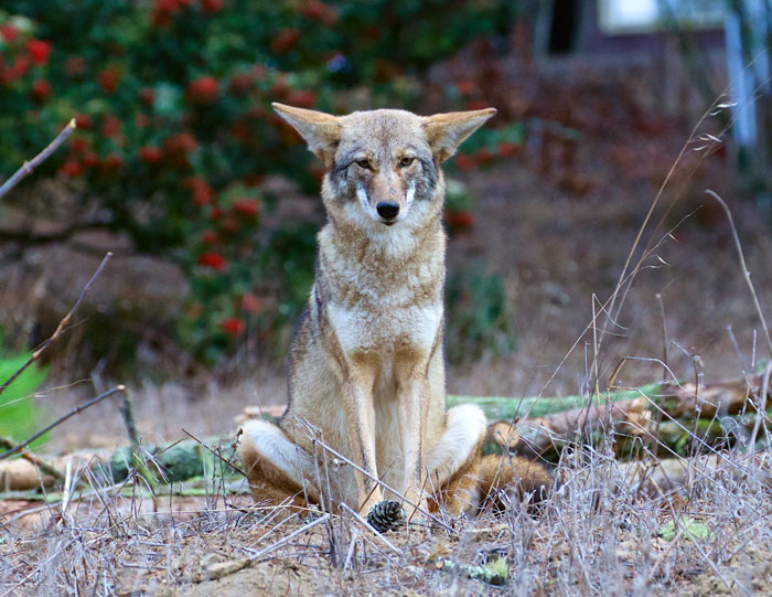 KesslerJanet_Coyote-Sitting-Cross-Legged.jpg