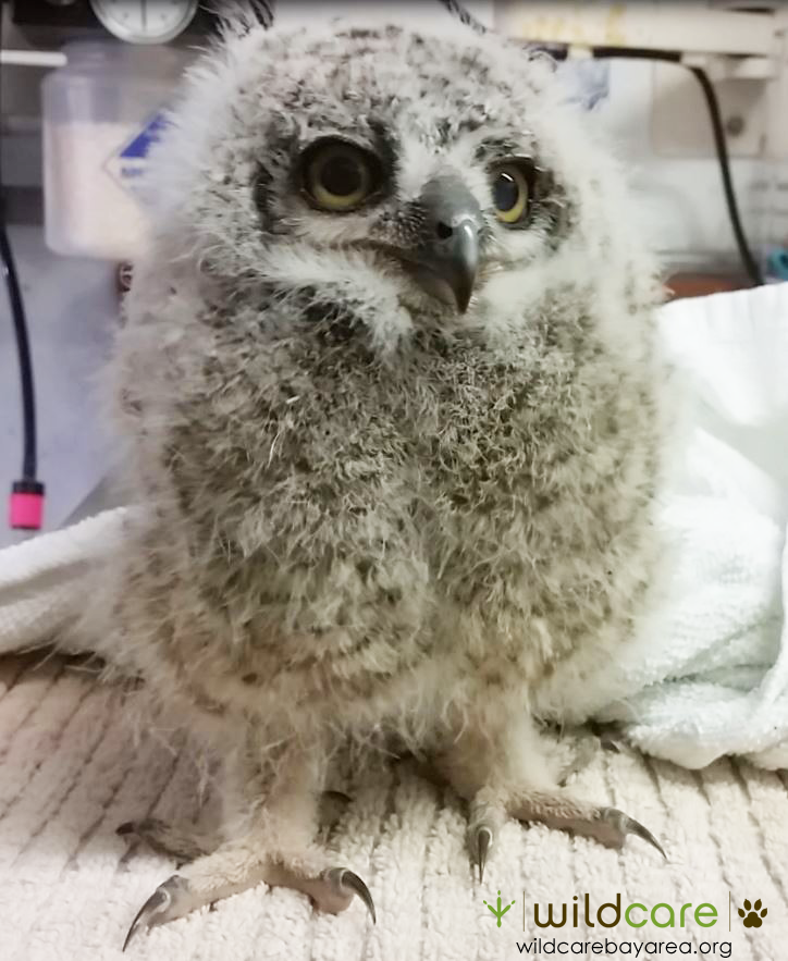 Baby Great Horned Owl. Photo by Melanie Piazza