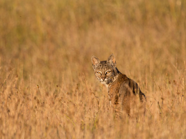 bobcat_in-field_Kallman_600-v2.jpg