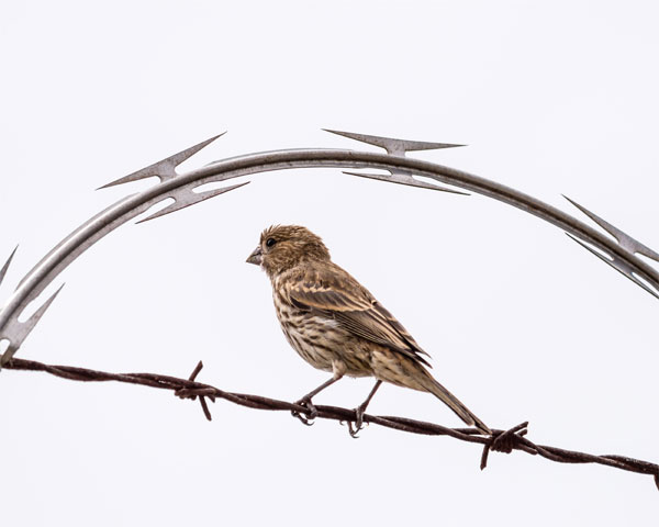 finch-with-barbed-wire_600.jpg