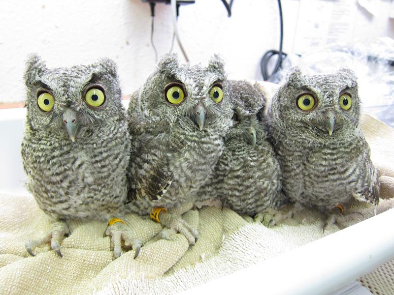 Baby screech owl baby screech owls photo by