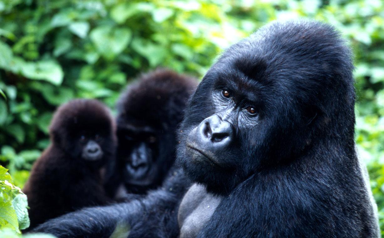 Mountain gorilla at Family at play Virunga National Park